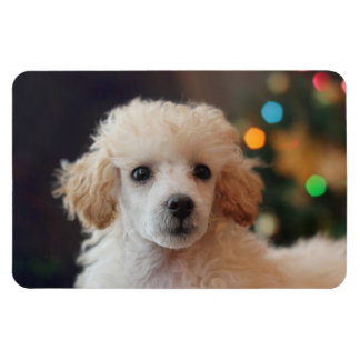 Toy poodle puppy 4x6 photo magnet
