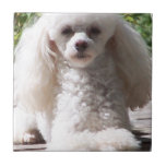 Toy Poodle Small Square Tile