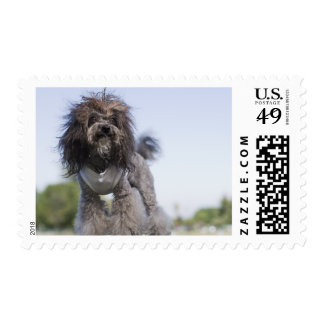 toy poodle wearing t-shirt postage