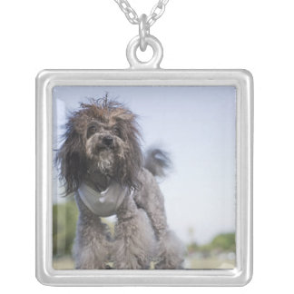 toy poodle wearing t-shirt silver plated necklace