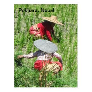 Trabajo en el arroz de arroz postal