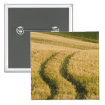 Tractors tracks through wheat, Tuscany, Italy 2 Inch Square Button