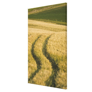 Tractors tracks through wheat, Tuscany, Italy Canvas Print