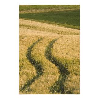 Tractors tracks through wheat, Tuscany, Italy Photo Print