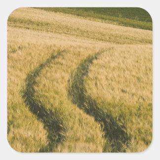 Tractors tracks through wheat, Tuscany, Italy Square Sticker