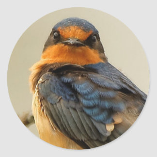Trading Stares with a Barn Swallow Classic Round Sticker