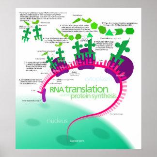 Traducción del ARN en diagrama de la síntesis de l Póster