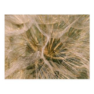 Tragopogon pratensis postcard