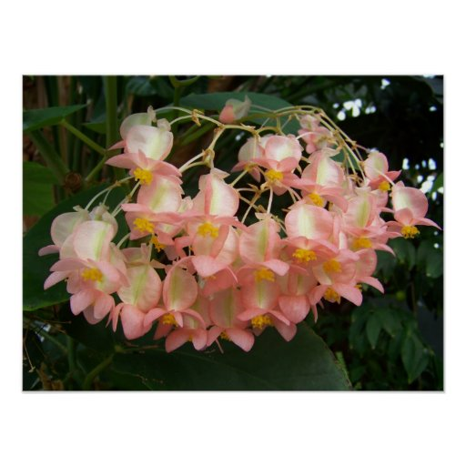 Trailing Begonia Posters
