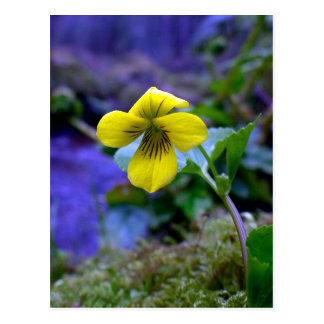 Trailing Yellow Violet 01 Post Cards