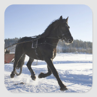 Training of horses in a wintry landscape, square sticker