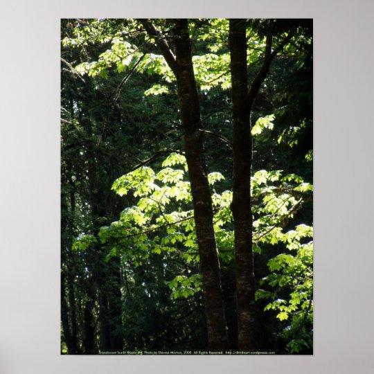 Translucent Sunlit Maple #4 Poster
