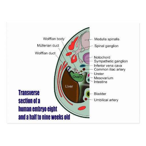 Transverse Section of Human Embryo 9 Weeks Old Postcard