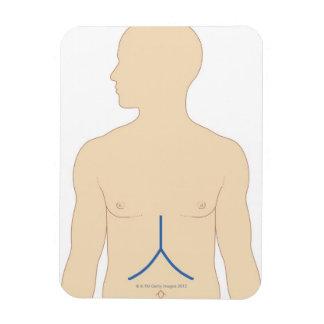Trasplante del hígado imanes flexibles