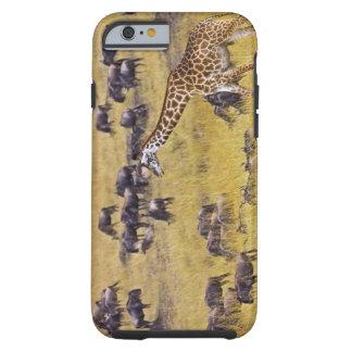 Travesía del río de Mara por las jirafas y