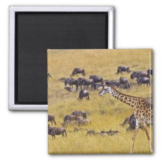 Travesía del río de Mara por las jirafas y Imán Cuadrado