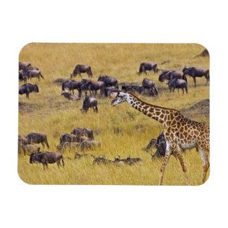Travesía del río de Mara por las jirafas y Imán De Vinilo