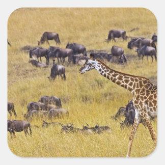 Travesía del río de Mara por las jirafas y Pegatina Cuadrada