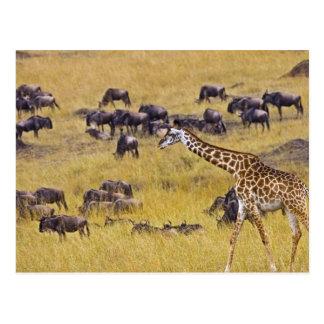 Travesía del río de Mara por las jirafas y Postales