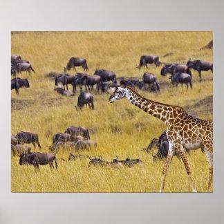 Travesía del río de Mara por las jirafas y Póster