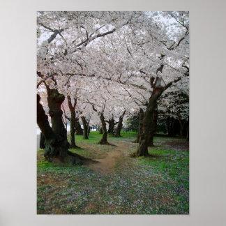 Trayectoria 12x16 de la flor de cerezo póster