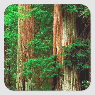 Tree Ancient Giants Redwoods Square Sticker