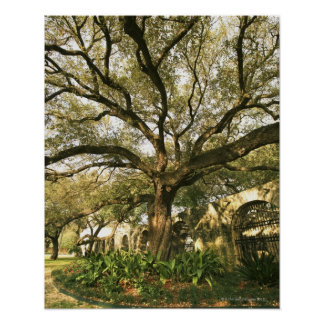 Tree and landscaping in San Antonio, Texas Poster