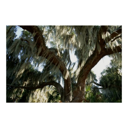 Tree and Spanish Moss Posters