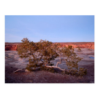Tree at Canyon de Chelly Postcard