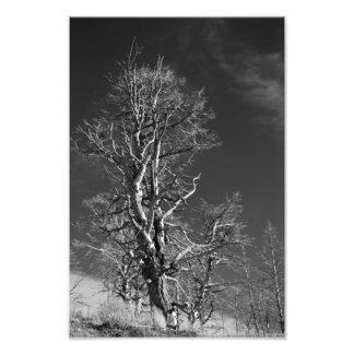 Tree at Yellowstone Photographic Print