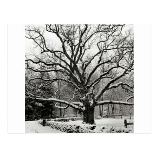 Tree Bedford Oak New York City Post Card