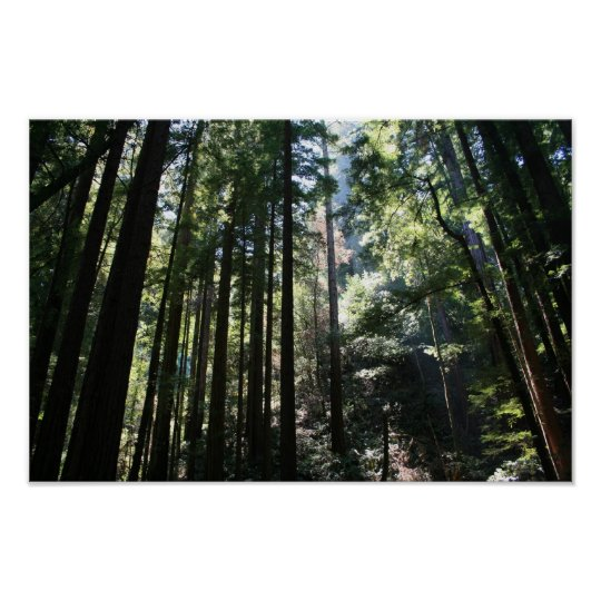 """""""Tree Cathedral"""", Muir Woods Poster"""