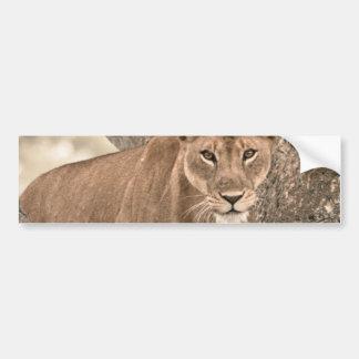 Tree-climbing lion, Uganda Africa Bumper Sticker