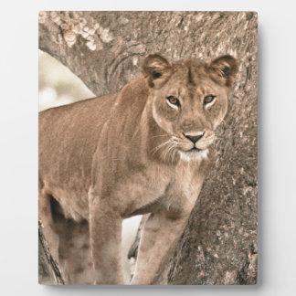 Tree-climbing lion, Uganda Africa Plaque