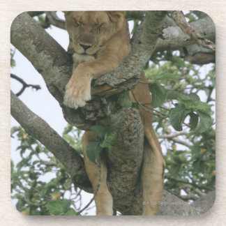 Tree climbing lioness (Panthera leo), Queen Drink Coaster