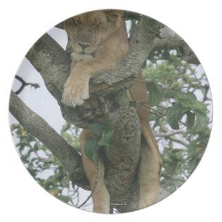 Tree climbing lioness (Panthera leo), Queen Melamine Plate