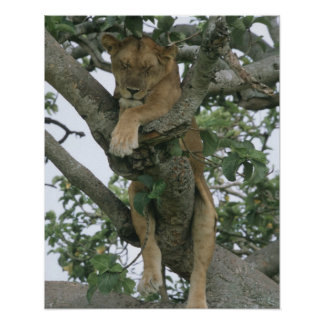 Tree climbing lioness (Panthera leo), Queen Poster