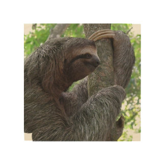 Tree Climbing Sloth Wood Canvases
