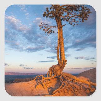 Tree Clings to Ledge, Bryce Canyon National Park Square Stickers