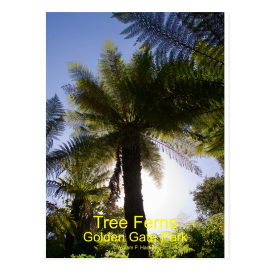 Tree Ferns Golden Gate Park California Products Postcard