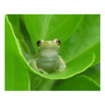 Tree Frog Poster
