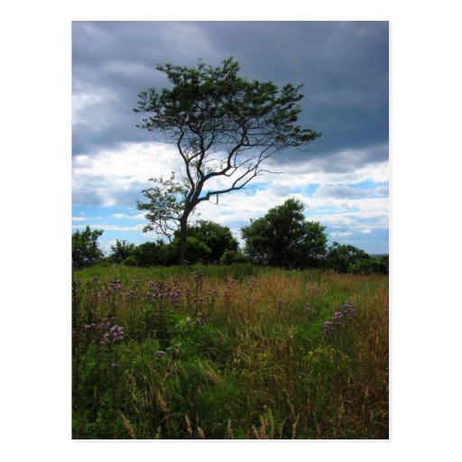 Tree in a Wheat Field Postcard