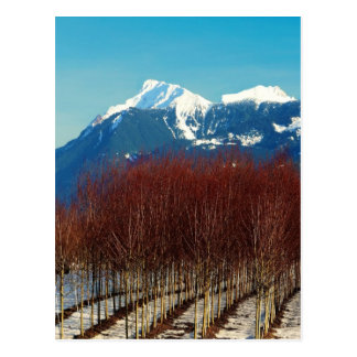 Tree Nursery and Snow Covered Mountains Postcard