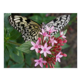 Tree Nymph Butterfly on Pentas Poster