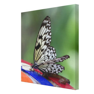 Tree Nymph Rice Paper Butterfly Wrapped Canvas