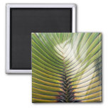 Tree of the Guadeloupe traveller Fridge Magnets