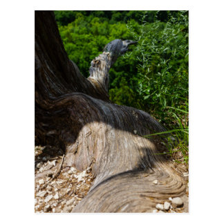Tree Root Extension Postcard