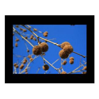 Tree Seed Pods Postcard