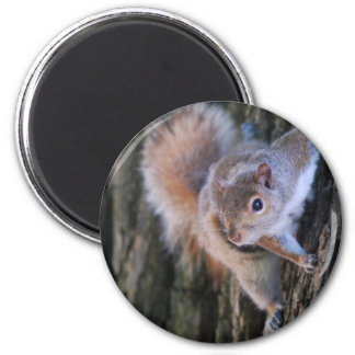 Tree Squirrel  Magnet Magnets