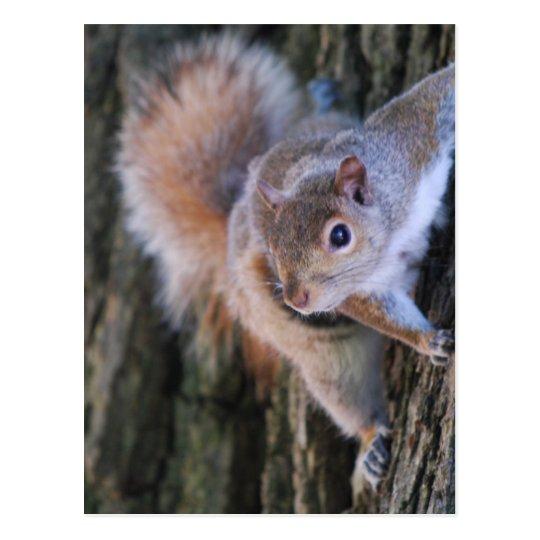Tree Squirrel  Postcard